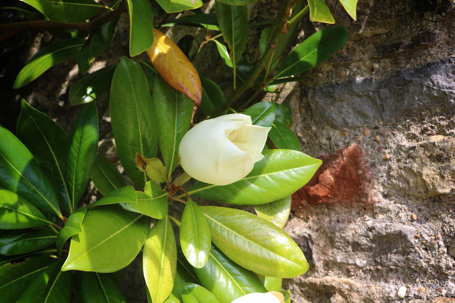 image of a magnolia outside the door at The Garden House, Lilycombe Farm